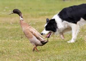 Duck-Herding-1