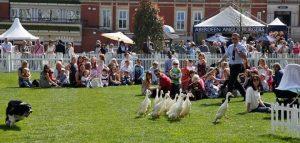 Duck herding hire